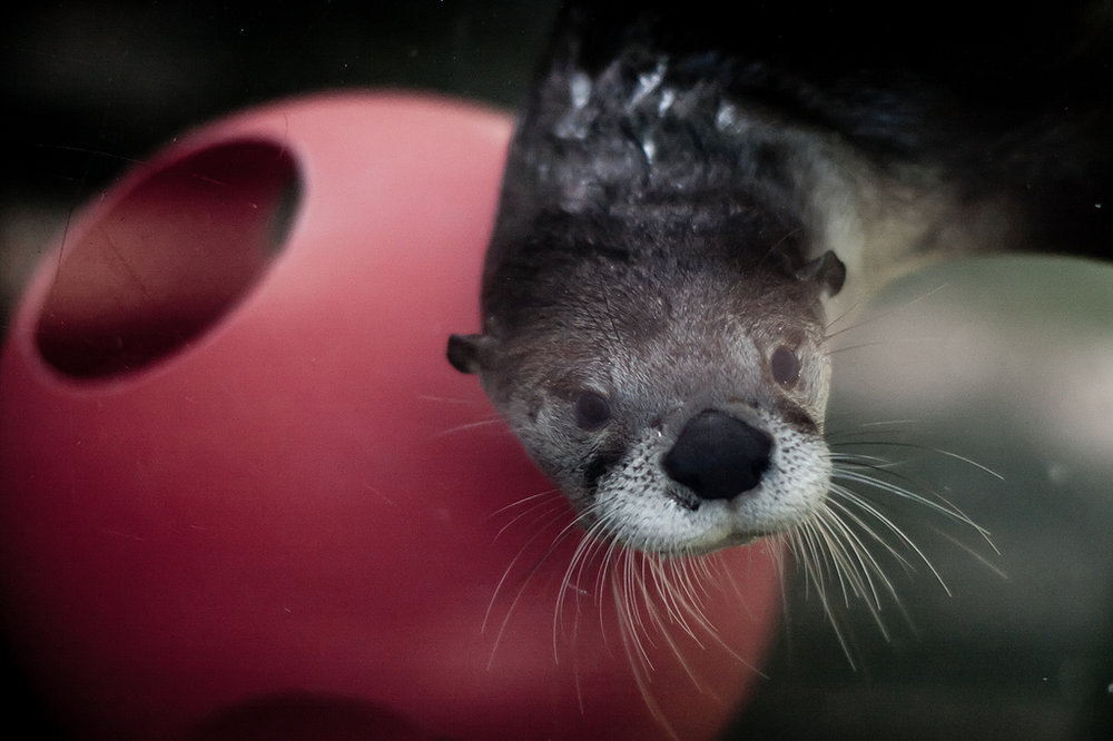 Curious Otter Noses Up to Camera