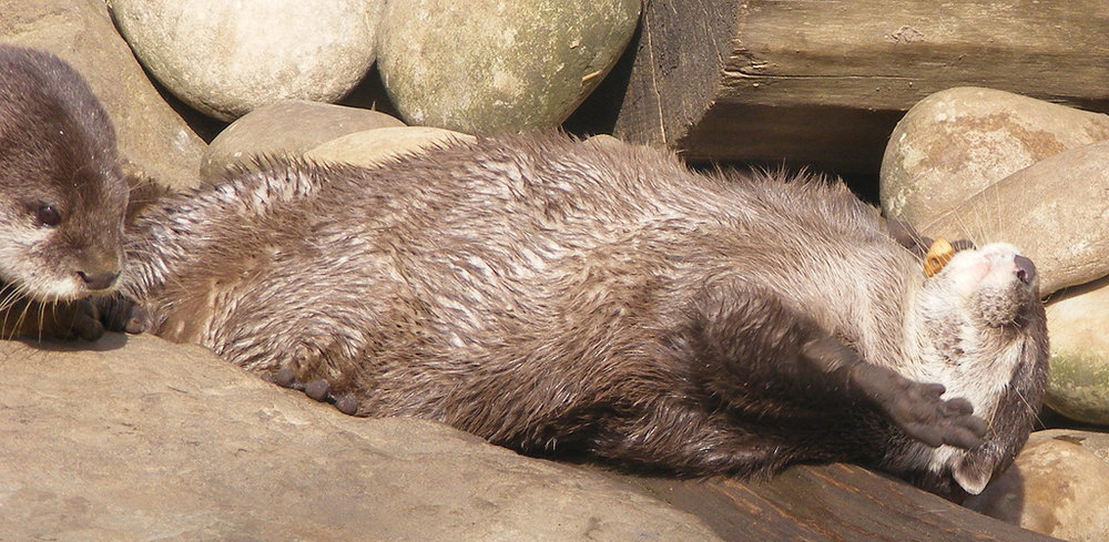 Otter Has a Pebble