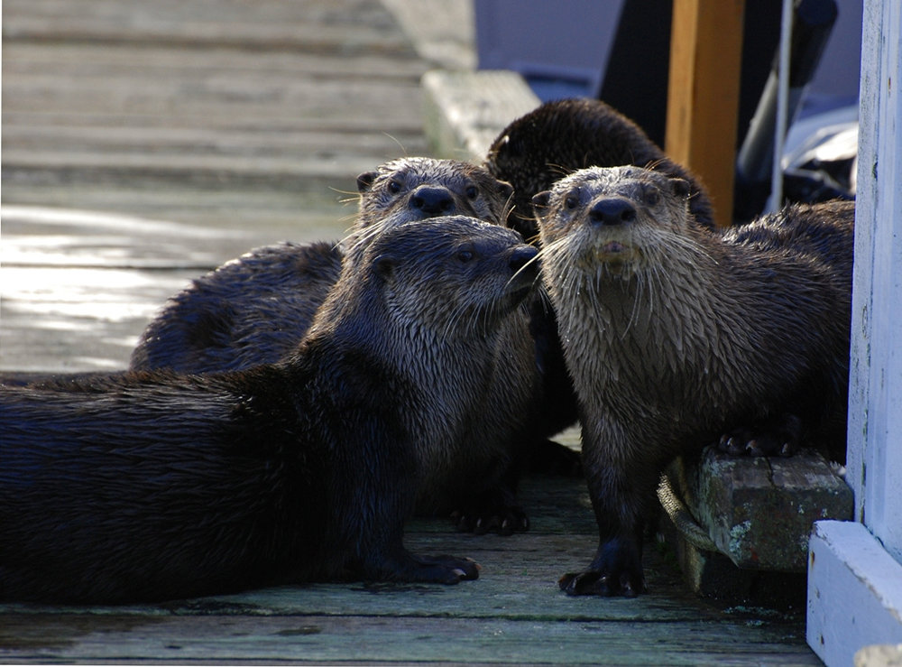 Otter Gang Notices Your Surveillance