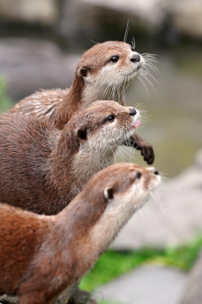 Three Otters in Profile