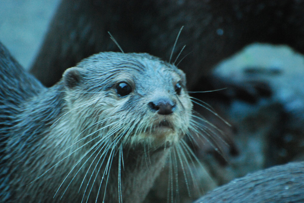 Otter Whiskers