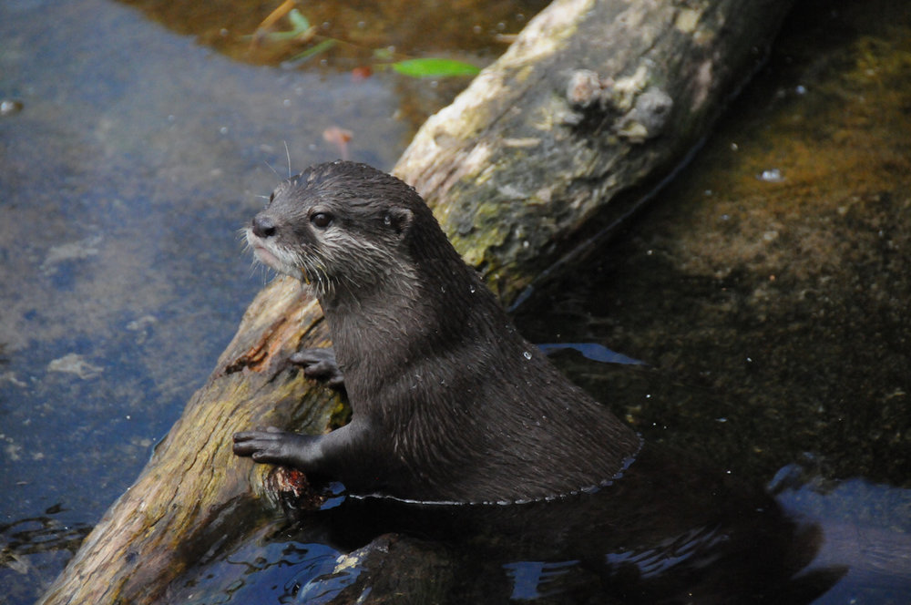 Otter Has a Log