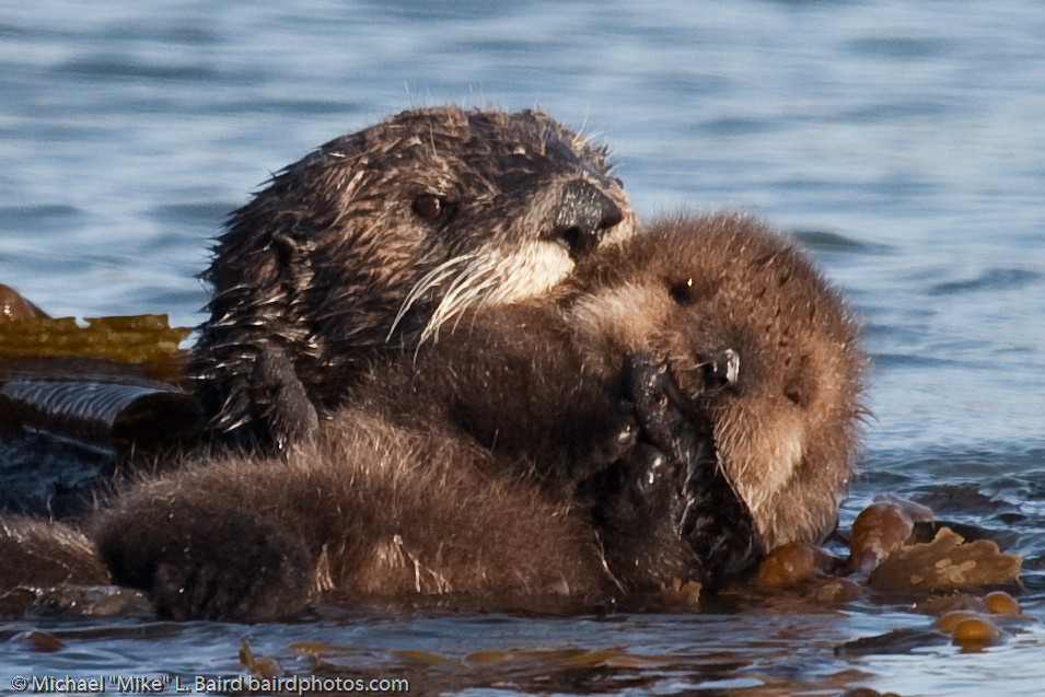Mother with Fuzzy Otter Pup