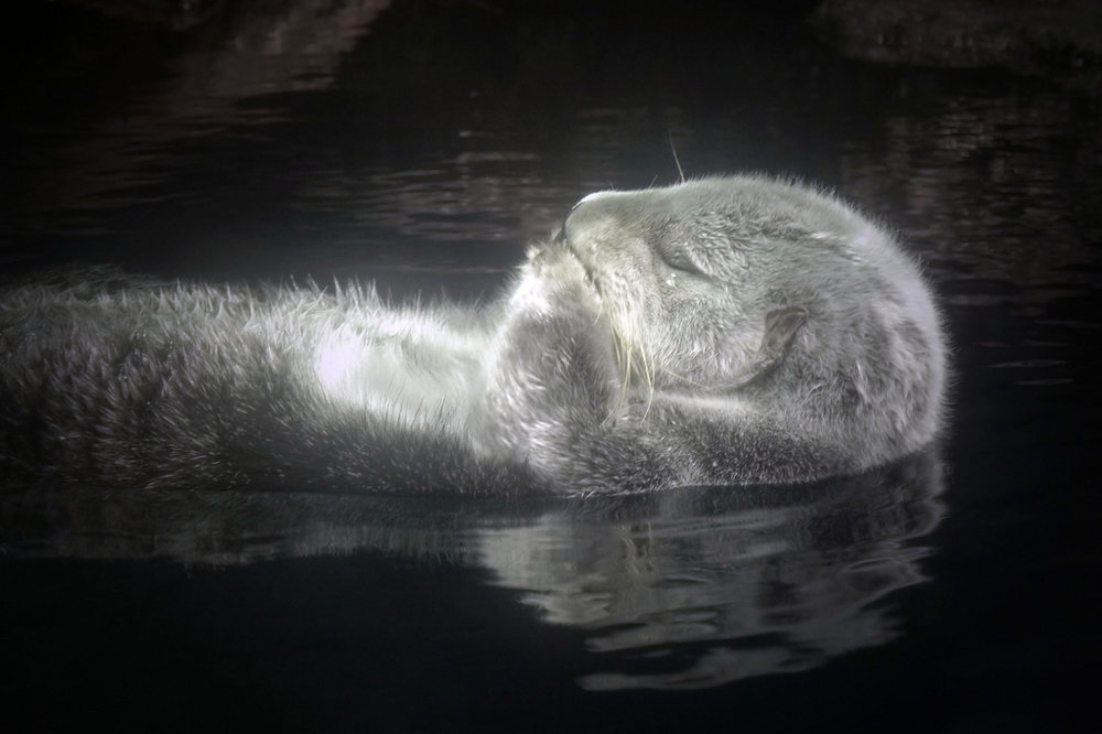 Zen Otter Floats Peacefully