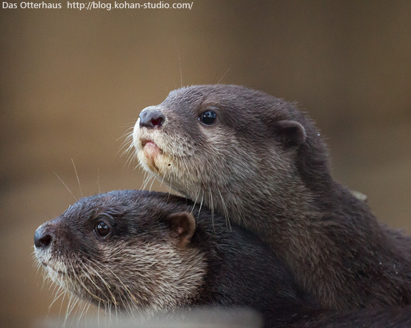 Little Otters Looking Out