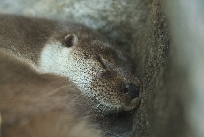 Peacefully Sleeping Otter