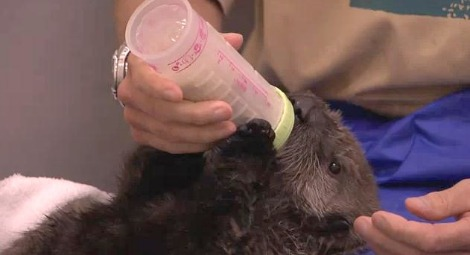 Baby Otter with Bottle