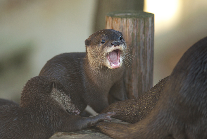 Excited Otter