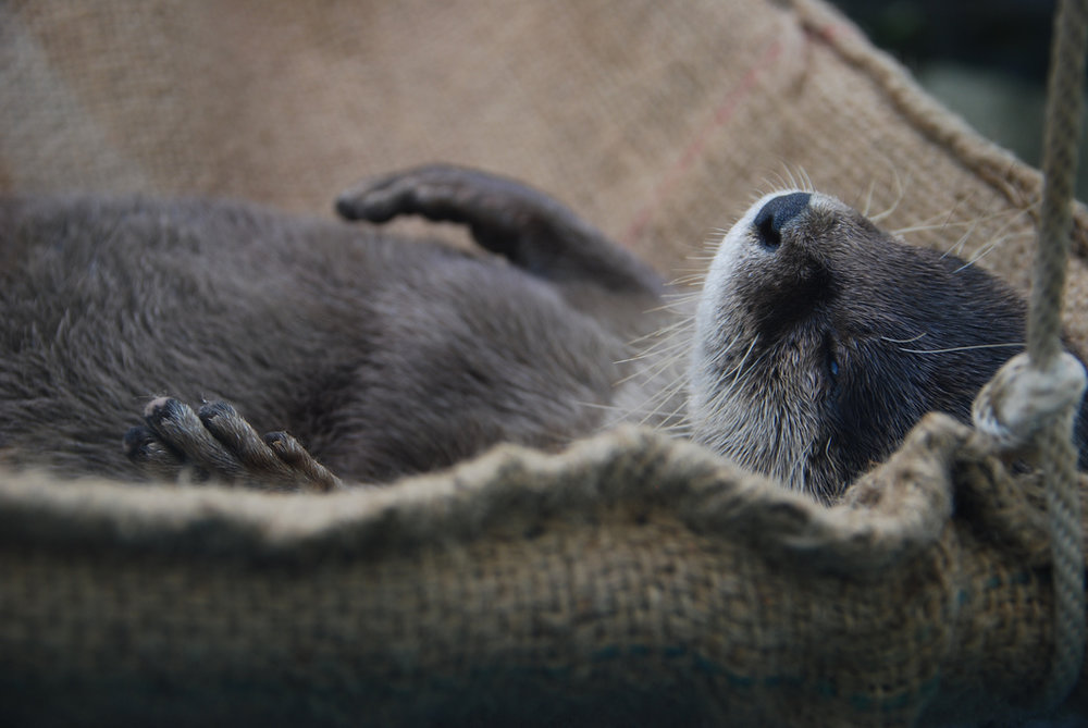 Otter Naps in His Hammock