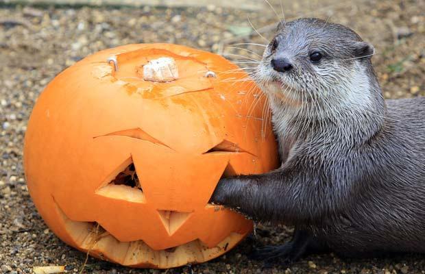 Otter and Pumpkin