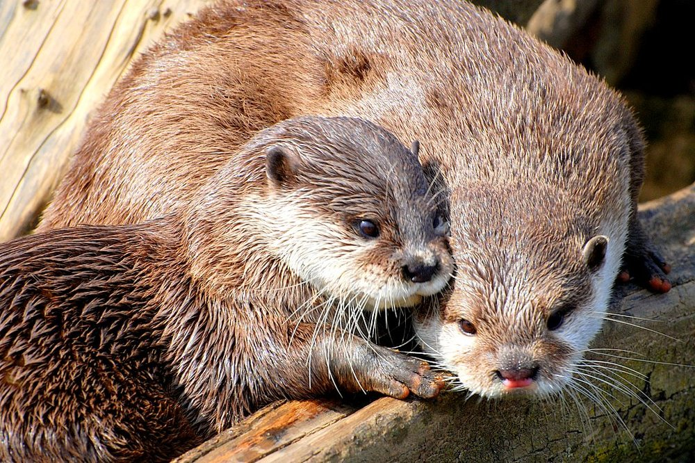 Otter Friends