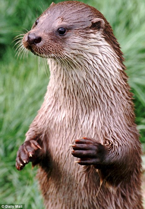 Return of Otters to UK