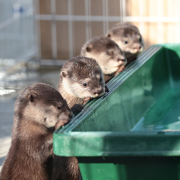 Little Otter Pups Peek in the Practice Pool