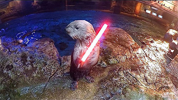 Fortunately, This Sea Otter Fights on the Light Side of the Force