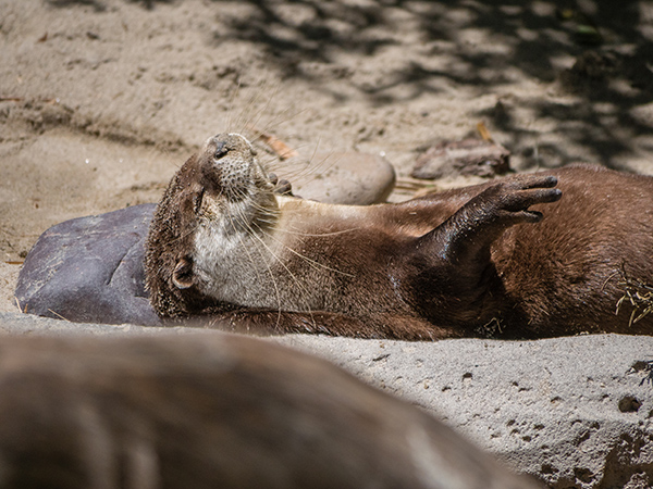 Otter Warms Up in the Sun After Rolling in the Sand