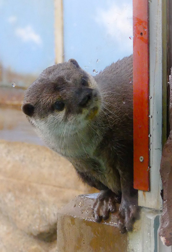 Curious Otter Wants to Know What's Going On in There