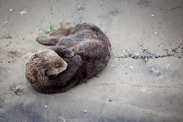 Sea Otter Does Some Grooming on the Beach