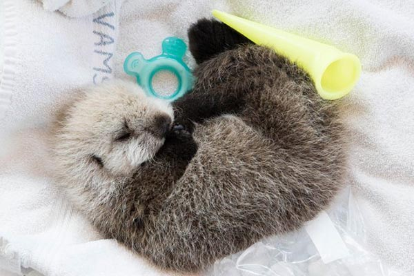 Vancouver Aquarium Takes in Tiny Sea Otter Pup! 2