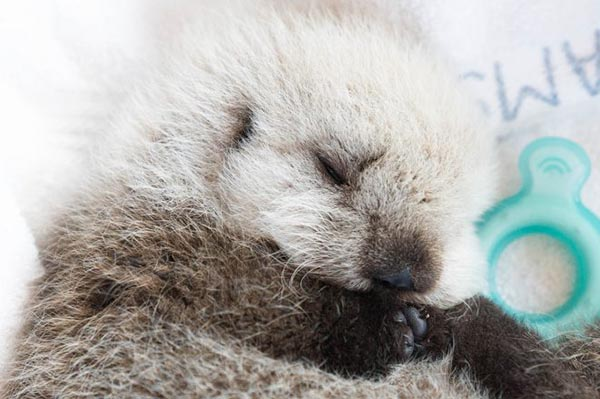 Vancouver Aquarium Takes in Tiny Sea Otter Pup! 3