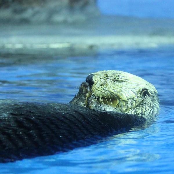 Sea Otter Stifles a Yawn
