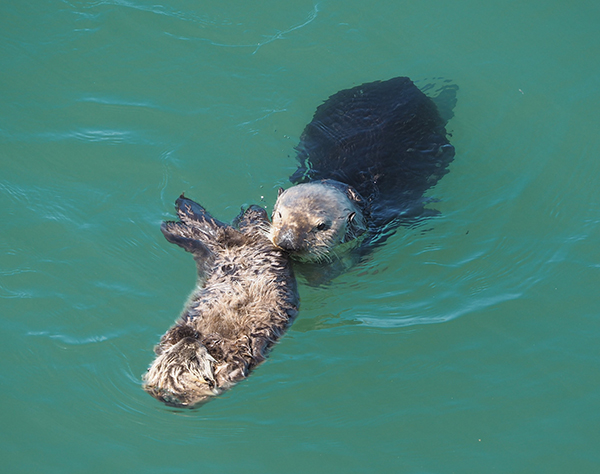 Sea Otter Pup Floats on His Own Under the Watchful Eye of His Mother