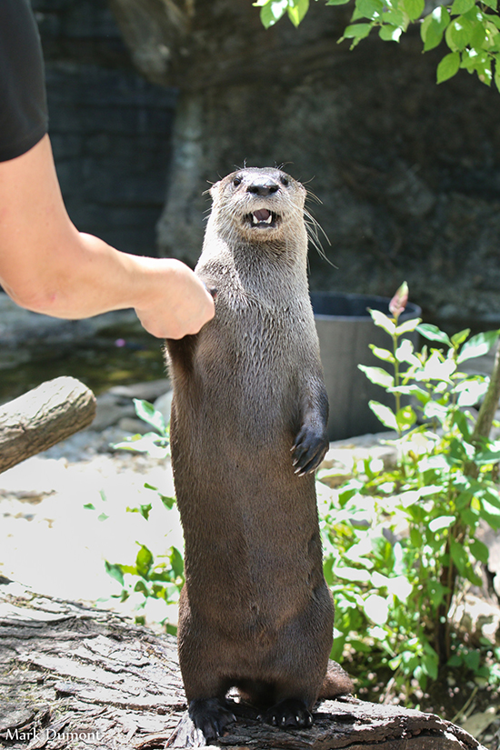 Politician Otter Shakes Human's Hand But Is Still Very Aware of the Camera