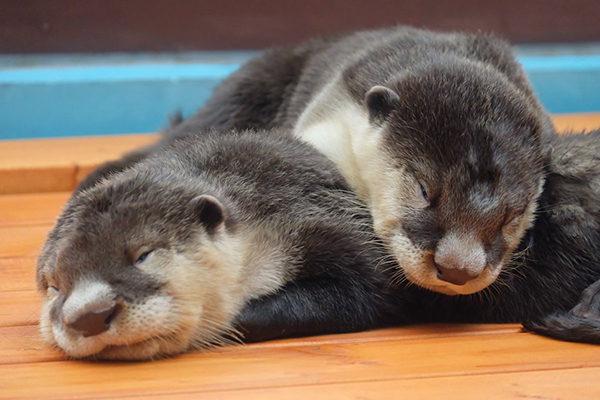 Surely a Nap is Imminent for These Otters... Never Mind! 1
