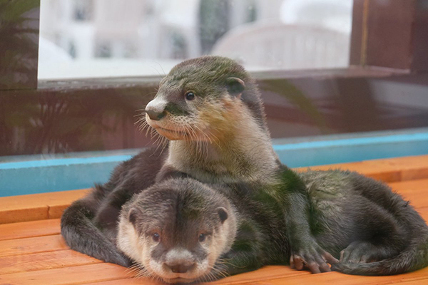 Surely a Nap is Imminent for These Otters... Never Mind! 2