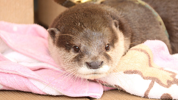 Otter's Getting Cozy on a Blanket
