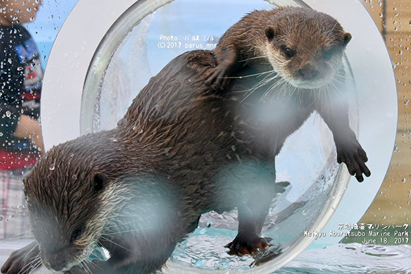 Otters Race to Get Out of the Ottertube First
