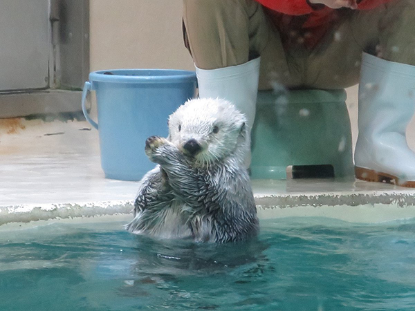 Sea Otter Calls for a Time Out So She Can Get a Snack