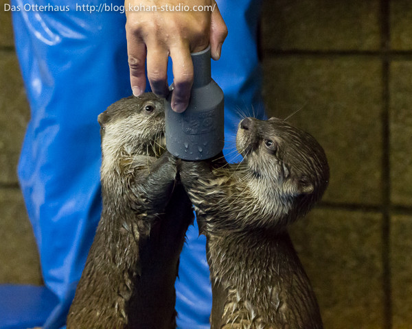 Otters Figure Out This Pipe Toy 1