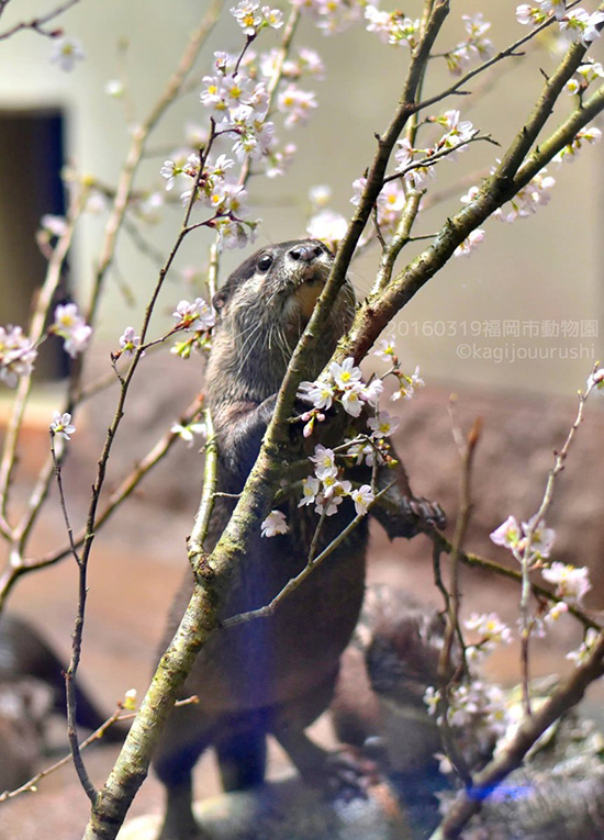 Otter Climbs a Tree to Be Among Its Flowers