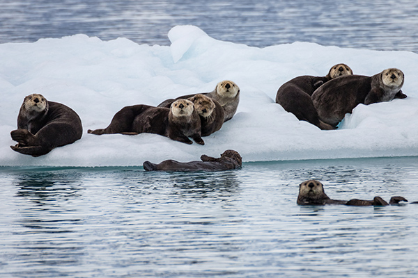 Wild Sea Otters Watch Human's Boat Pass By
