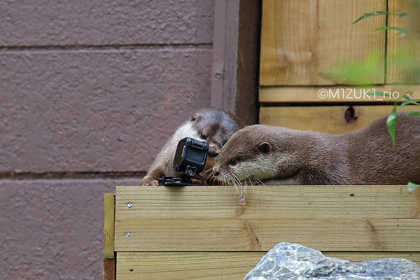 Otters Try to Figure Out This Funny Piece of Equipment