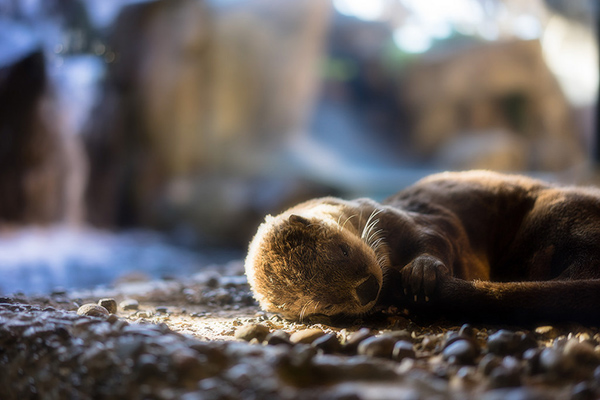 Otter Naps with His Security Tail