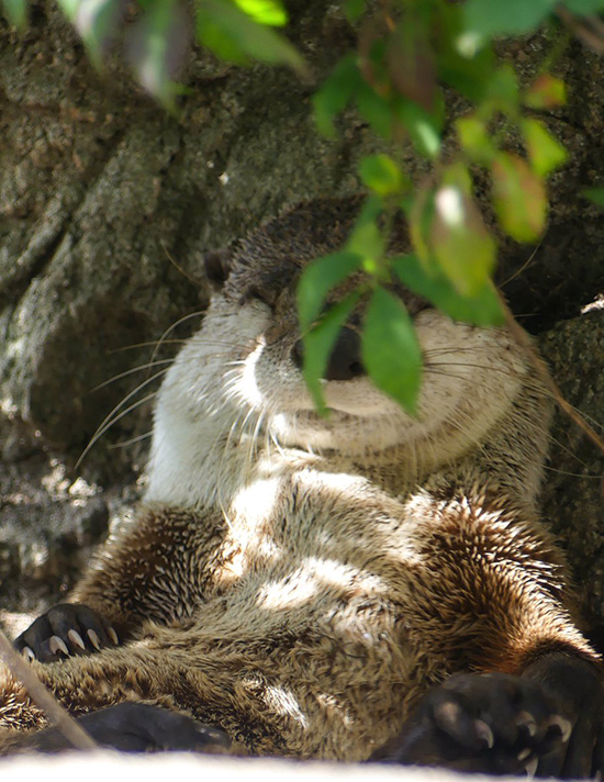 Otter Very Contentedly Naps Under a Tree
