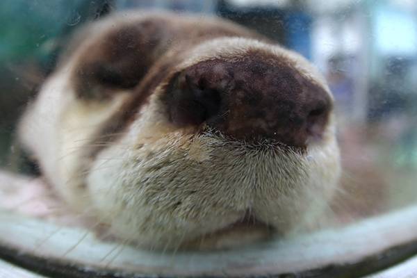 Otter's Nose Is So Boopable