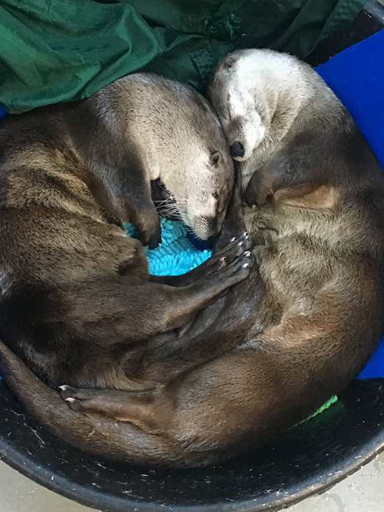 Otters Contentedly Curl Up for a Nap Together