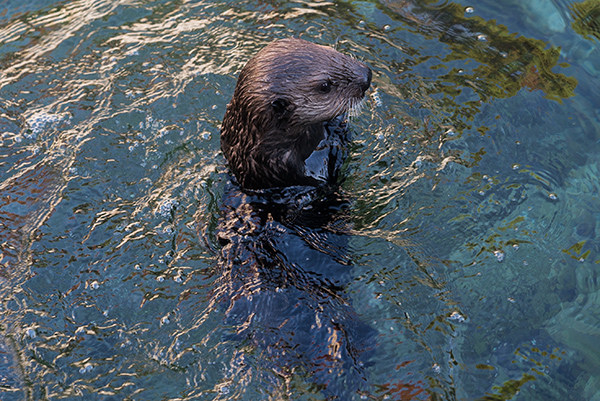 Sea Otter Pup Hardy Gets a Load of Tanu 1