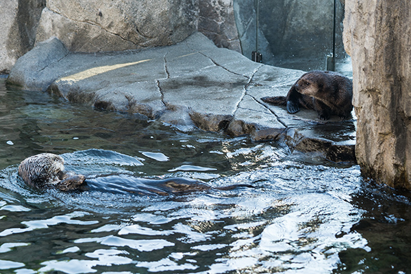 Sea Otter Pup Hardy Gets a Load of Tanu 2