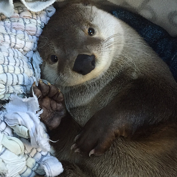 Otter, You Look So Happily Cozy!