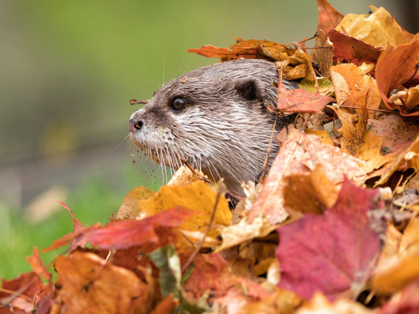 Otter Looks Stunned at How Fun Leaf Piles Are