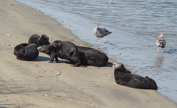 Sea Otters Get in Some Beach Time
