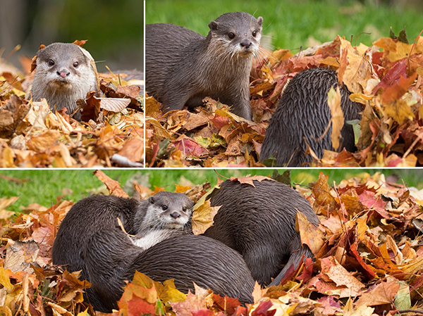 Otters Have a Romp Through the Leaf Pile