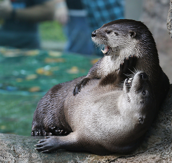 Otter Gives His Friend a Belly Rub
