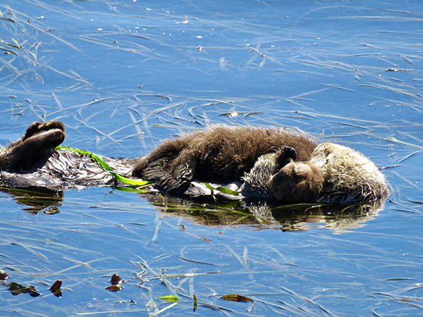 Mother Sea Otter Cuddles Her Sleepy Pup