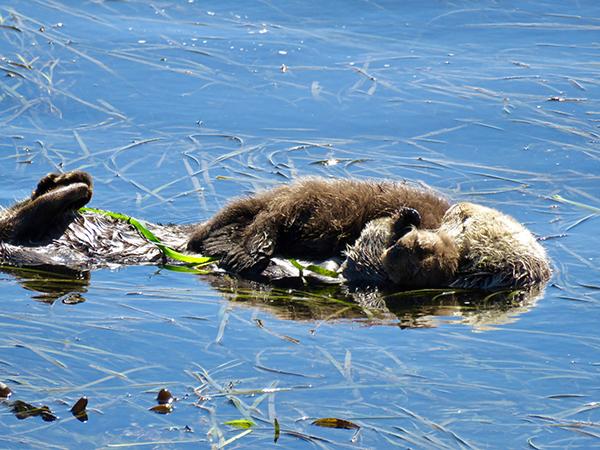 Mother Sea Otter Cuddles Her Sleepy Pup