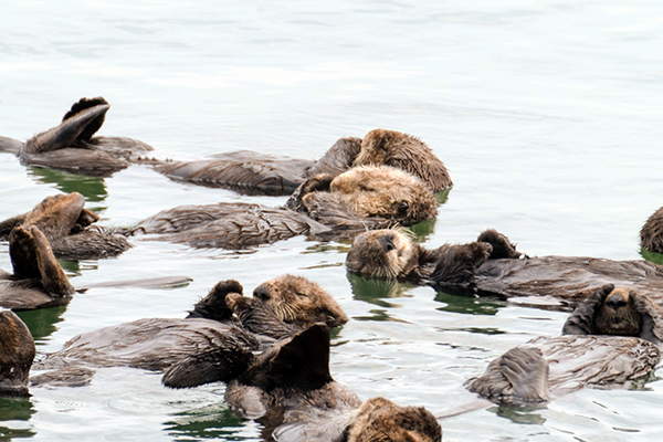 This Raft of Sea Otters Is Having a Collective Naptime