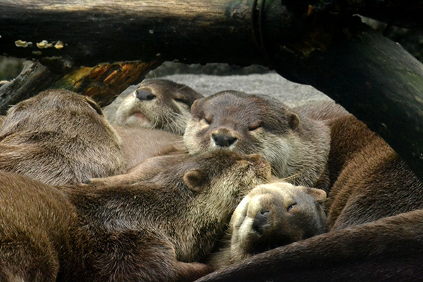 Otters Like to Nap in a Big Furry Pile